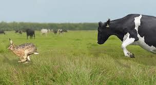 """Afbeeldingsresultaat voor je weet nooit hoe een koe een haas vangt"""""""